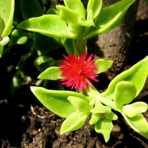 Razmnozavanje jadranska lepotica Jadranska lepotica