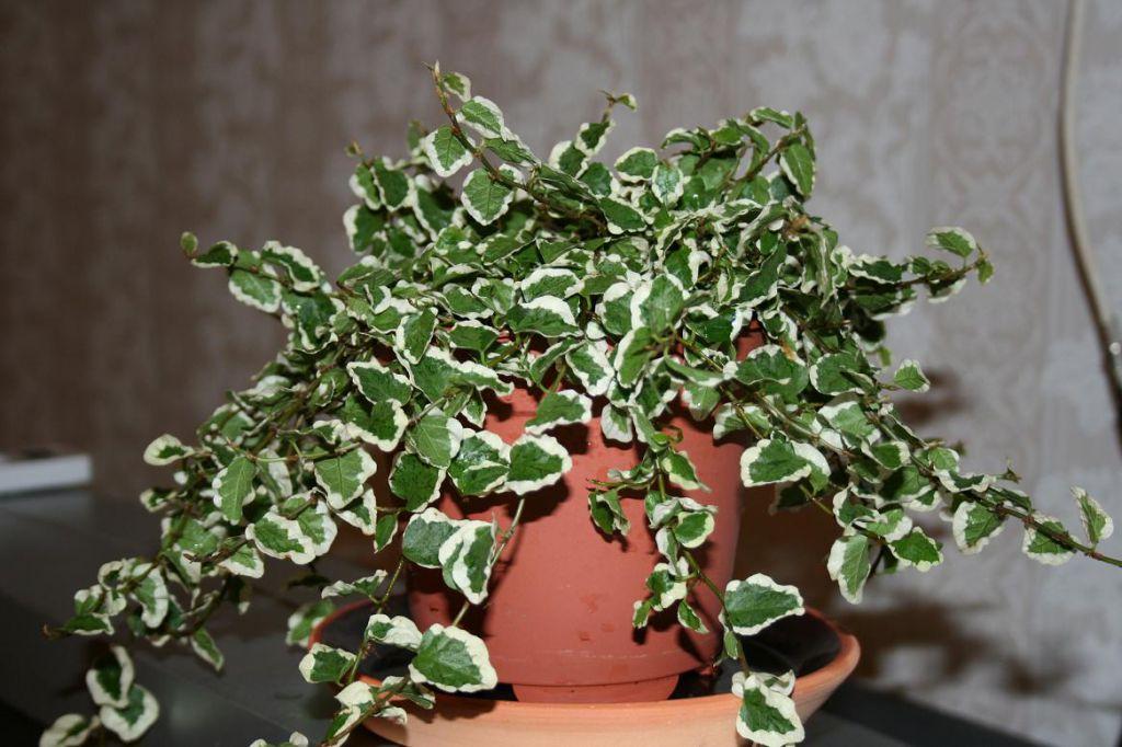 Фикус карликовый: максималый рост и уход в домашних условиях