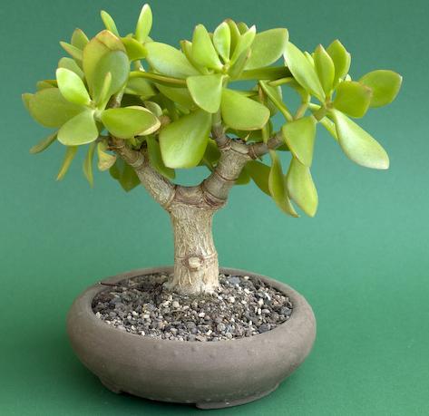 Денежное дерево уход и выращивание в домашних условиях 99