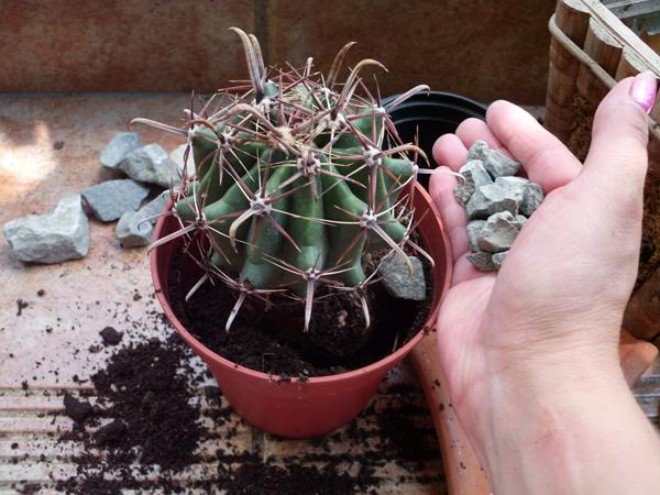 В какой грунт сажать кактусы 268