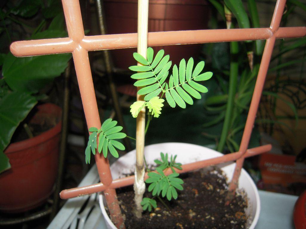 Уход и выращивание мимозы стыдливой 25