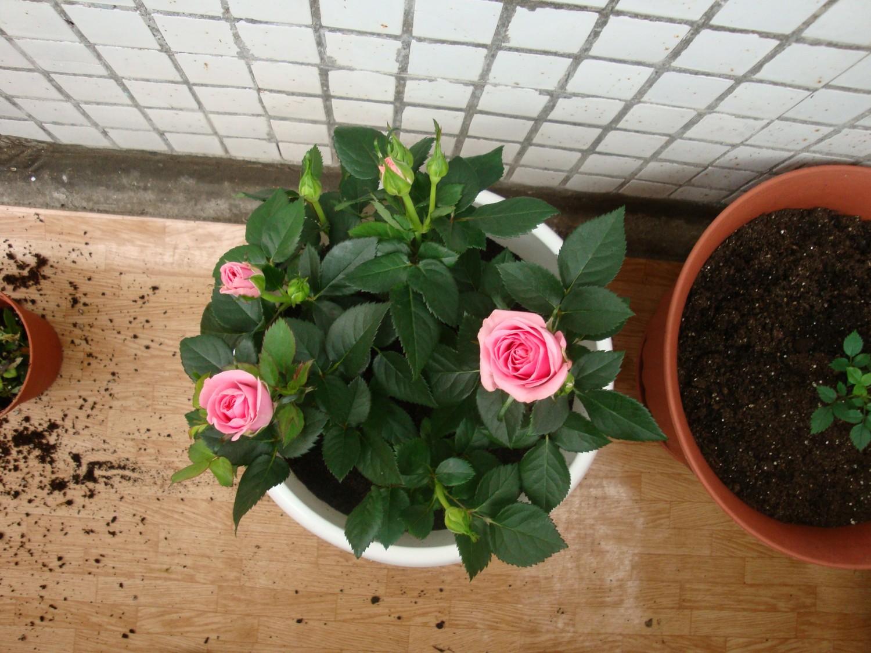 Как пересаживать розы в горшочке купленную в магазине