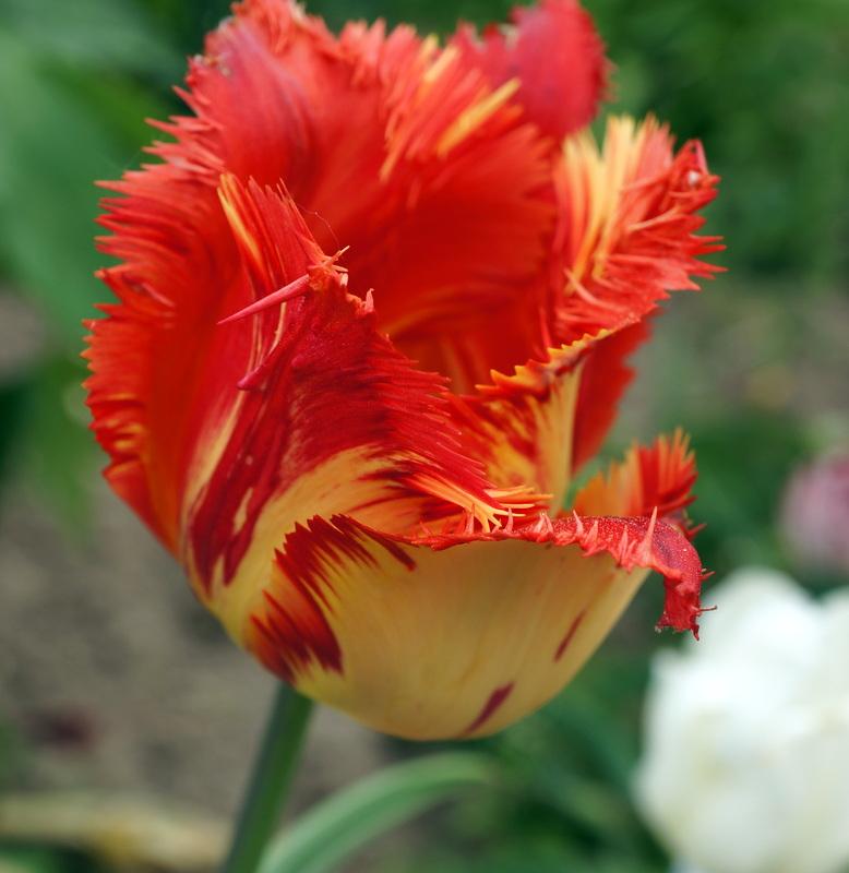 Иерусалимский тюльпан фото