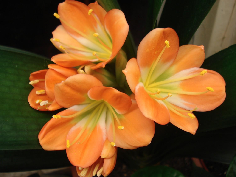 Кливия Магазин Цветов Официальный Сайт