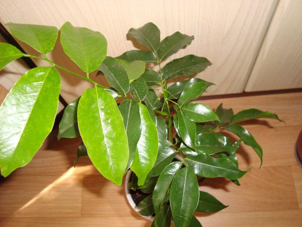 Кастаноспермум листья