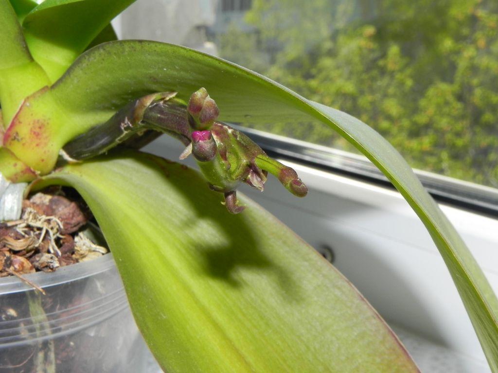 освободив фаленопсис сохнет цветонос с бутонами фото день