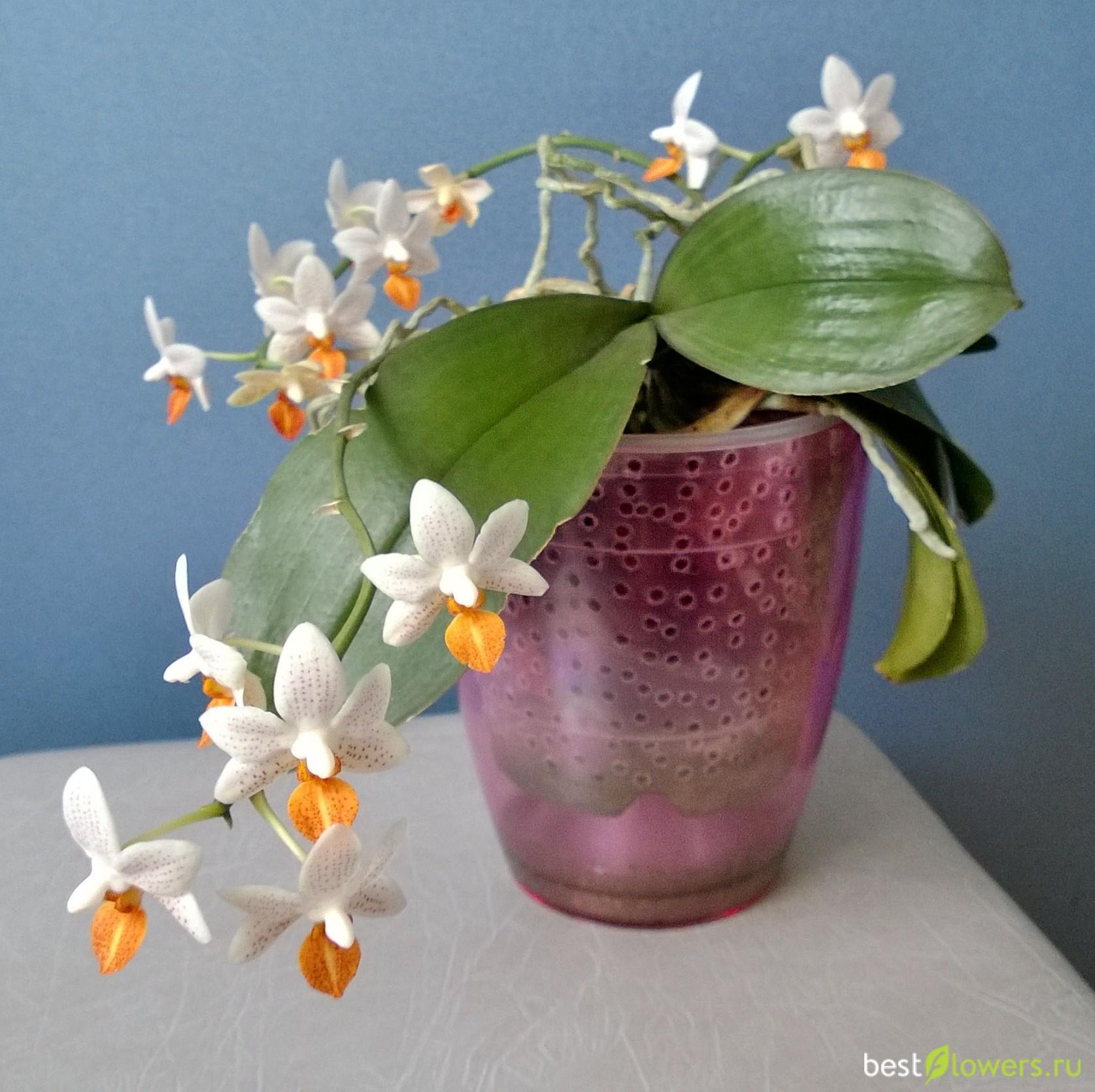орхидея мини марк фото южный загар