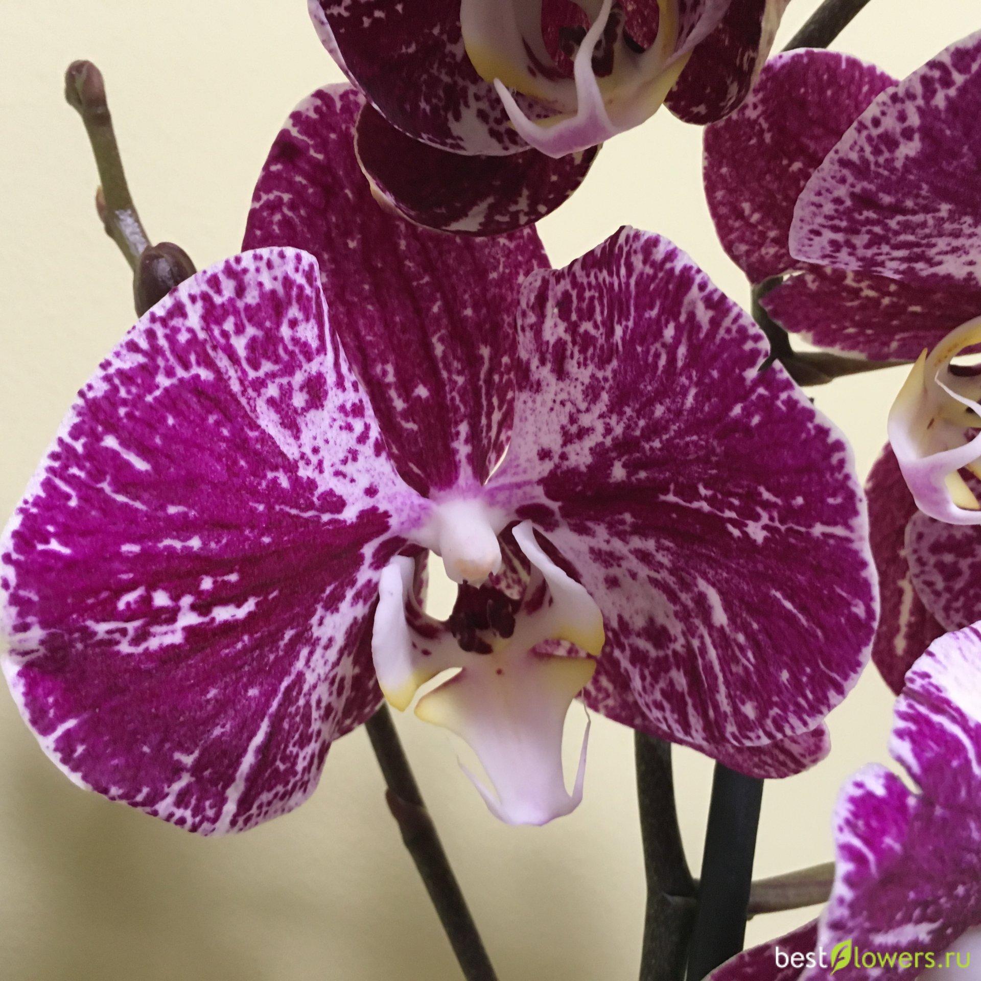 орхидея джулия фото настолько интересная область