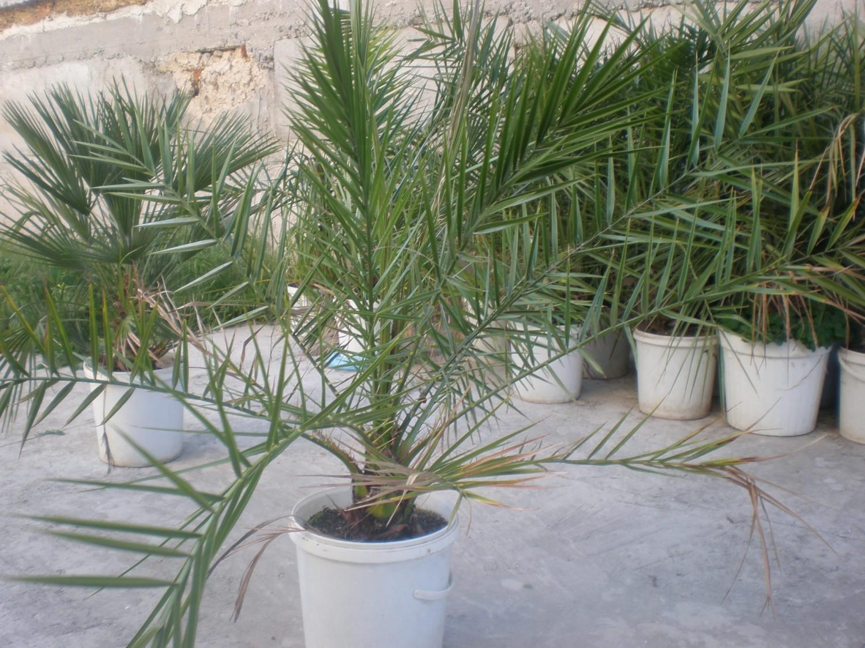 Финиковая пальма в домашних условиях фото по годам