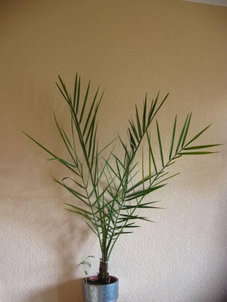 Фото финикового дерева в домашних условиях