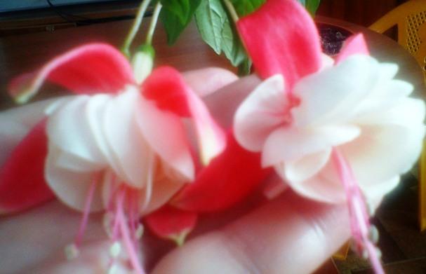 2f6ec86d92e80 какой вид Фуксий?(Фуксия Праздник\ Fuchsia hybrida + ...