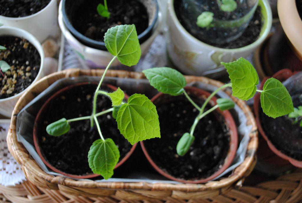 Гибискусы выращивание из семян 82