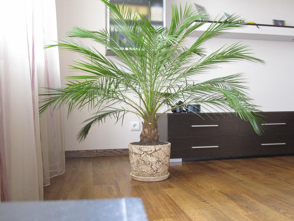 Комнатная финиковая пальма фото и уход