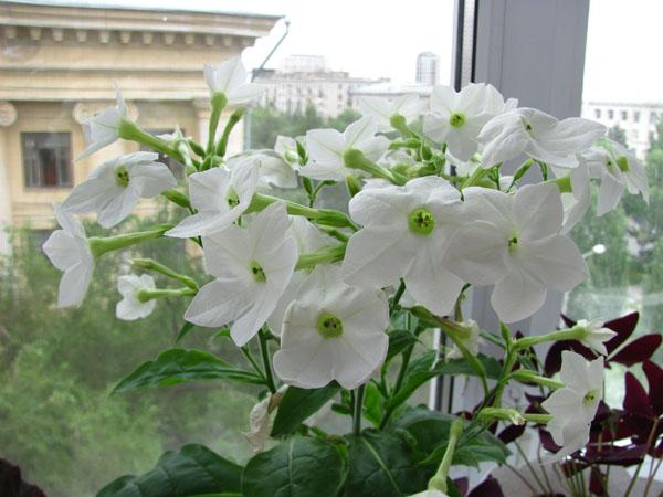 Табак душистый на балконе: 10 сортов для домашнего выращиван.