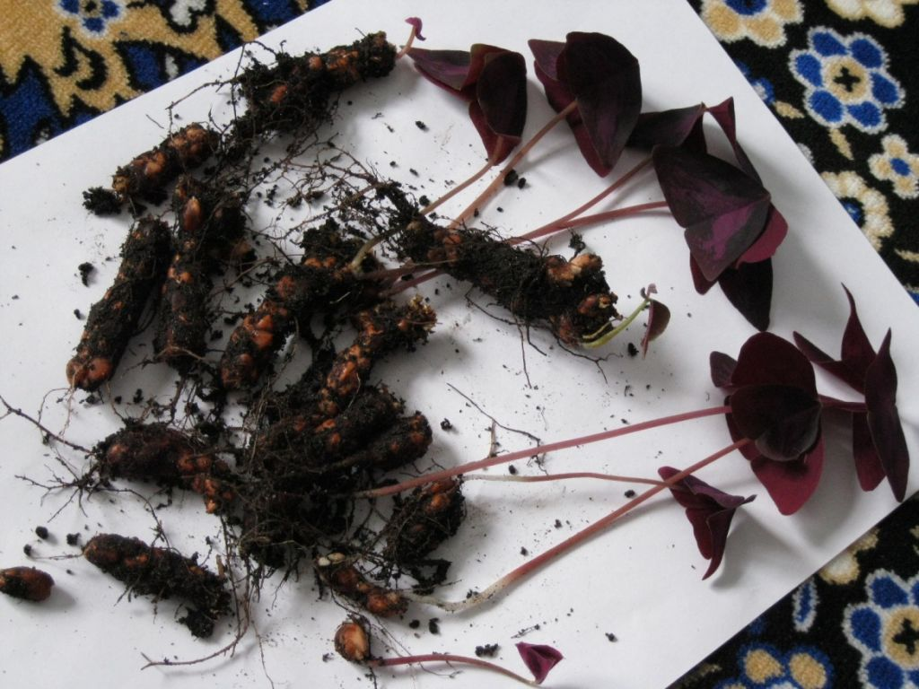 Как сажать кислицу семенами 9