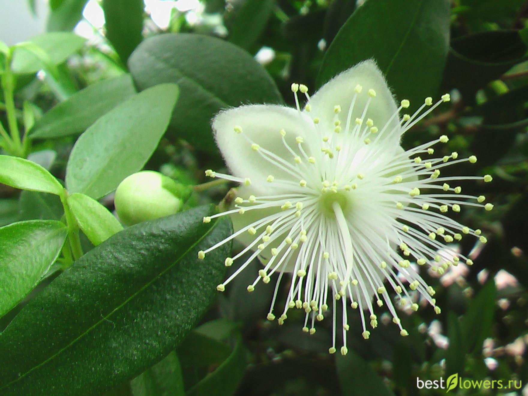 Мирт обыкновенный цветок фото часто