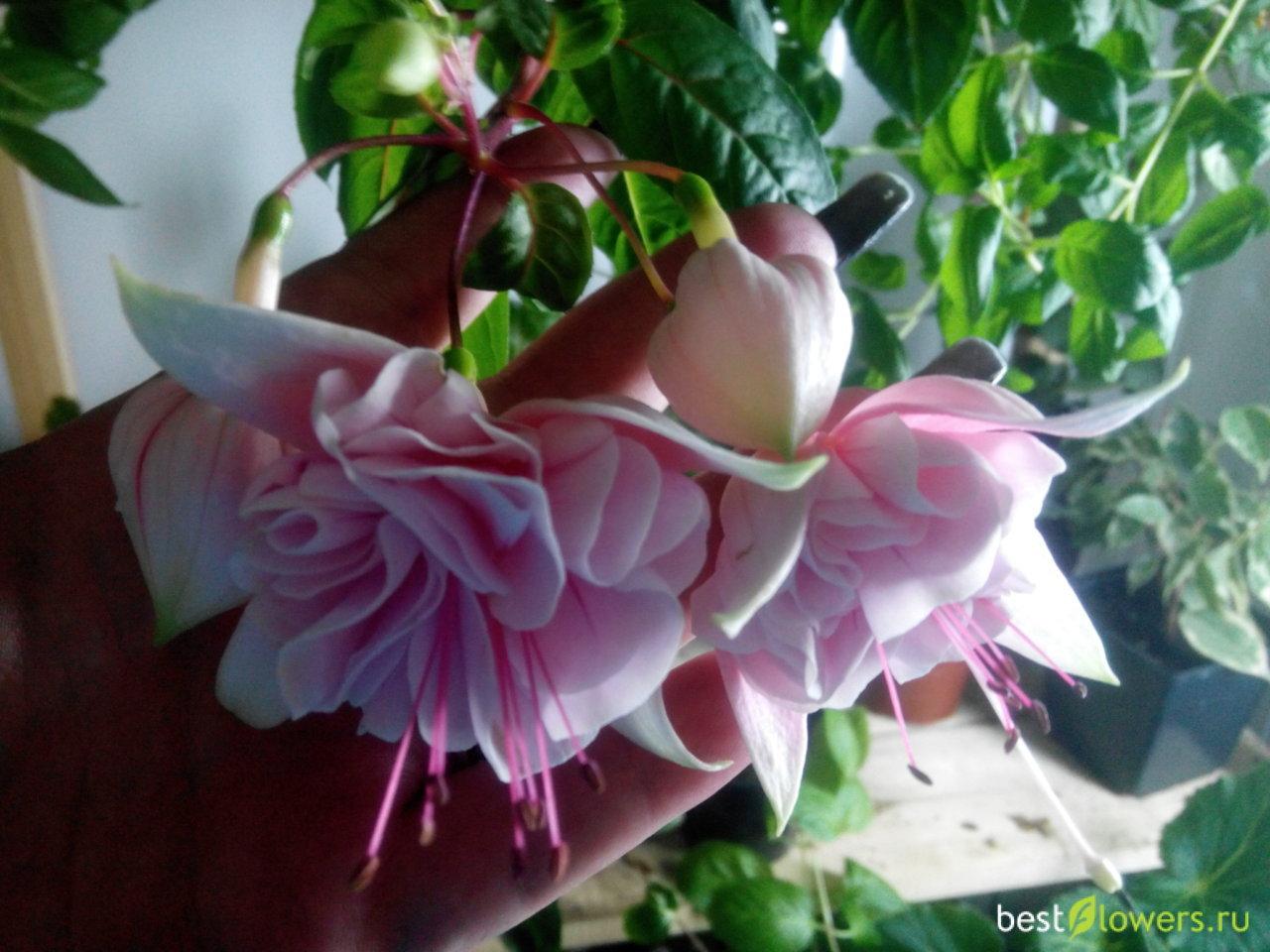 Цветок фуксия фото и описание комнатного растения