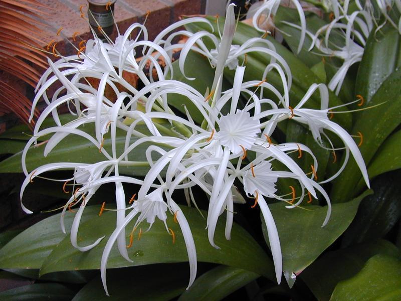 домашние цветы беленькие цветочки и тоненькие листики 519073368