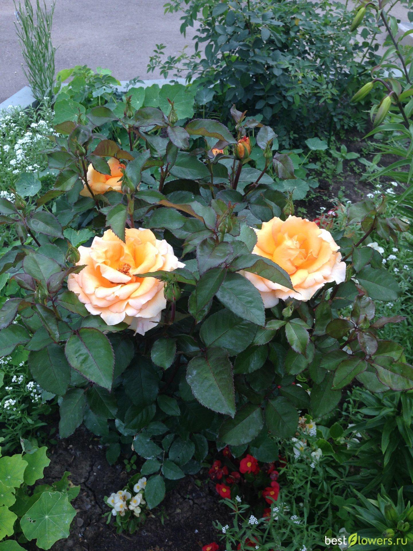 роза эльдорадо фото описание связи истечением