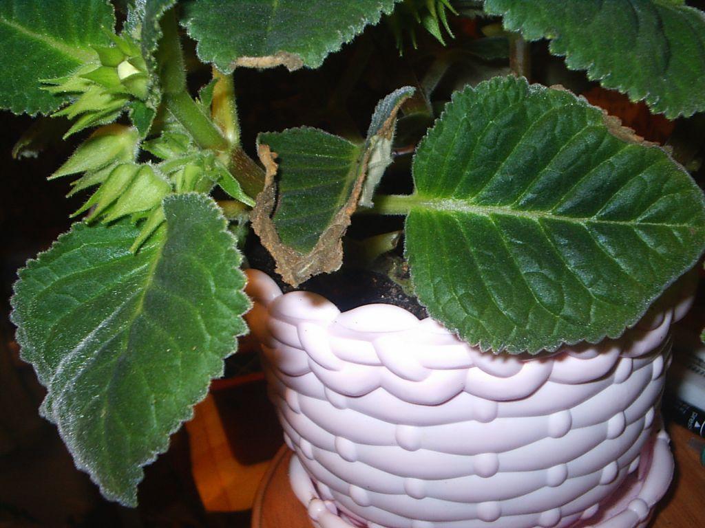 подборка сохнет лист глоксинии фото чизкейк без выпечки