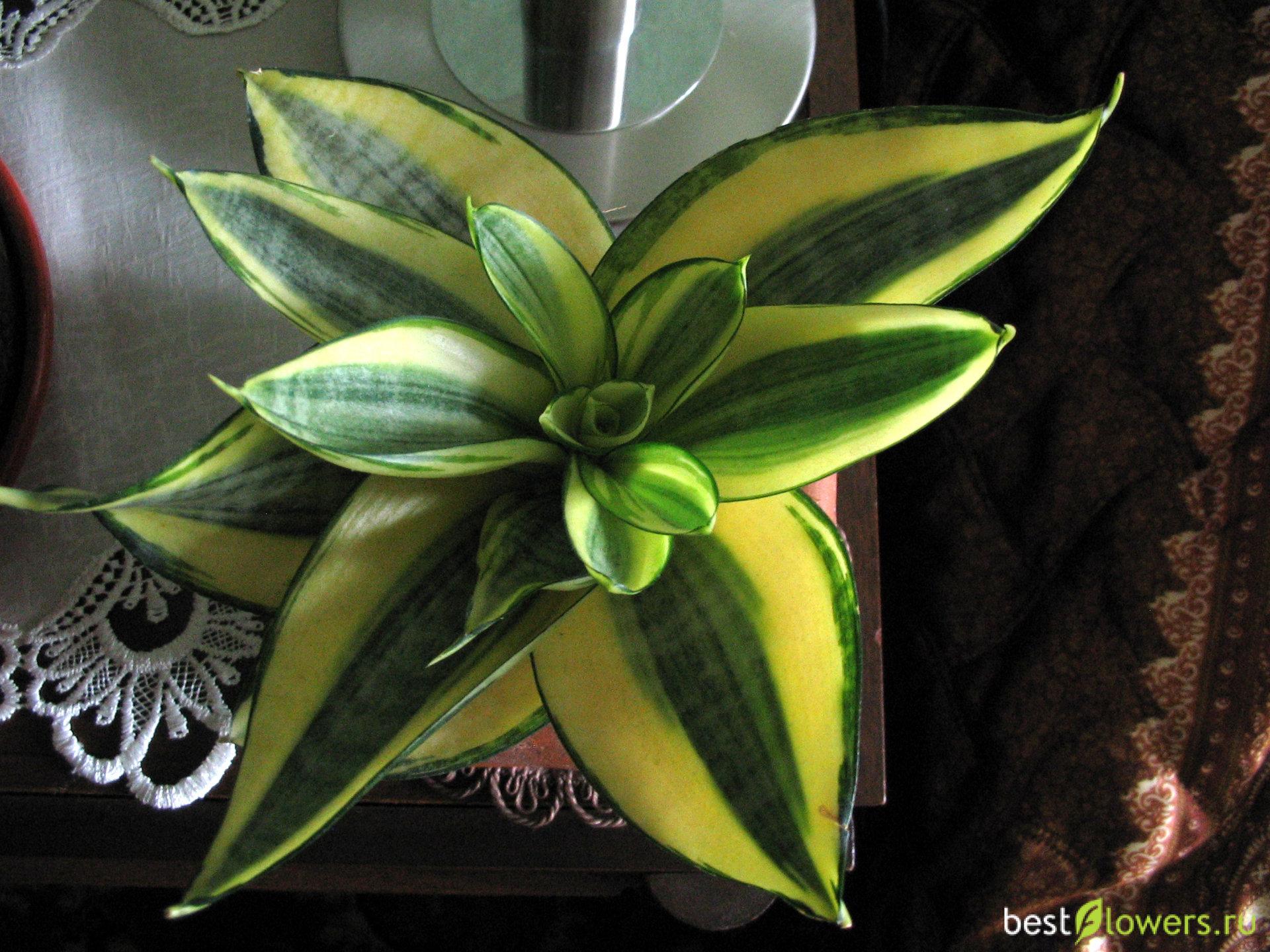 сансевиерия голден ханни фото описание ее цветки ограничительных