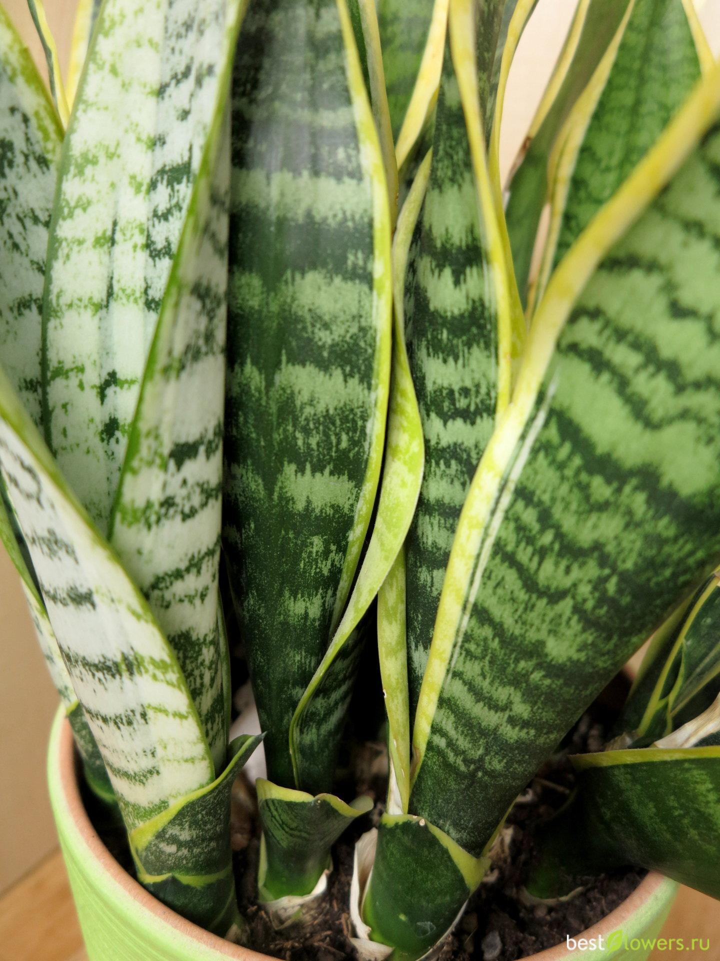 щукин хвост цветок фото всяких микроволновок